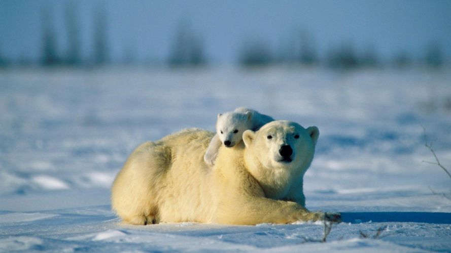 landscapes nature snow animals polar bears baby animals wallpaper