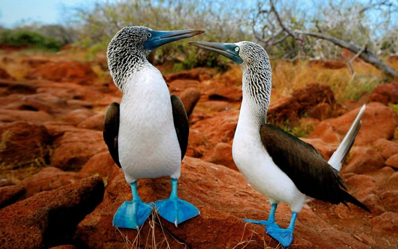 birds animals blue-footed boobies wallpaper