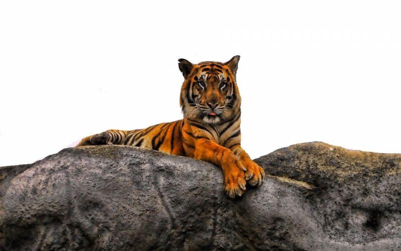 animals tigers majestic photo manipulation wallpaper