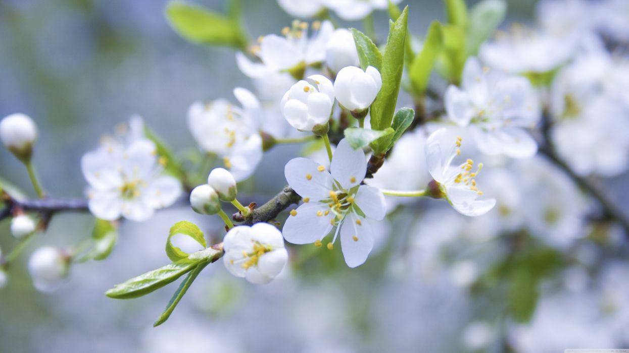 white flowers spring blossoms macro wallpaper