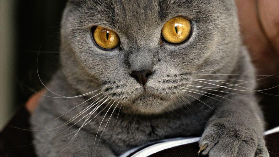 cats Chartreux wallpaper