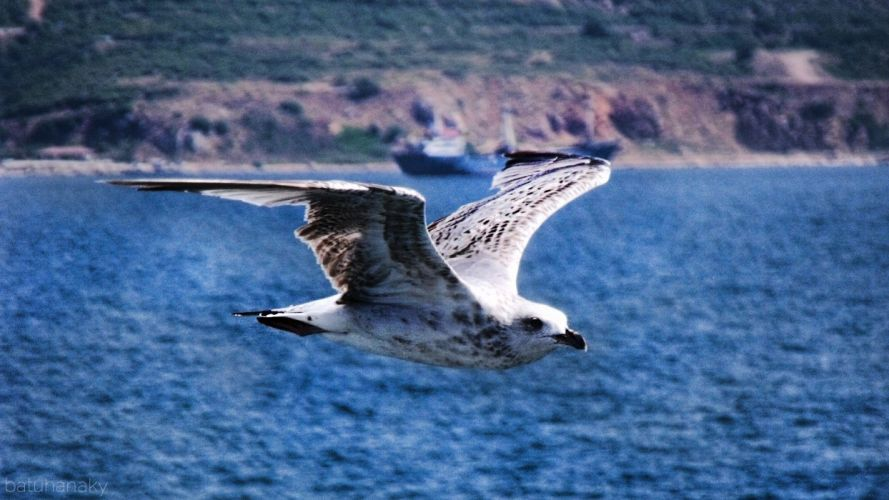 blue flying birds seagulls backgrounds action sea wallpaper