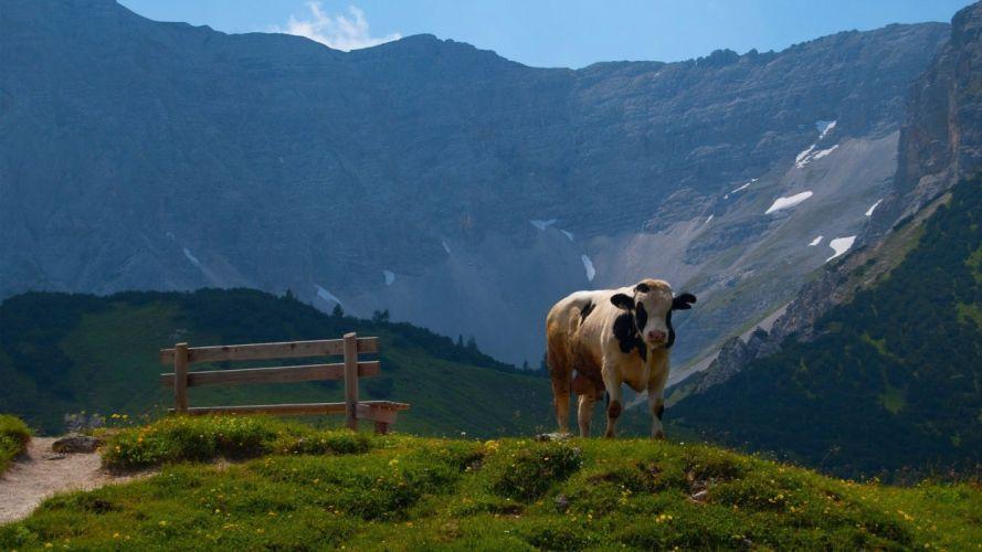 landscapes nature animals cows wallpaper