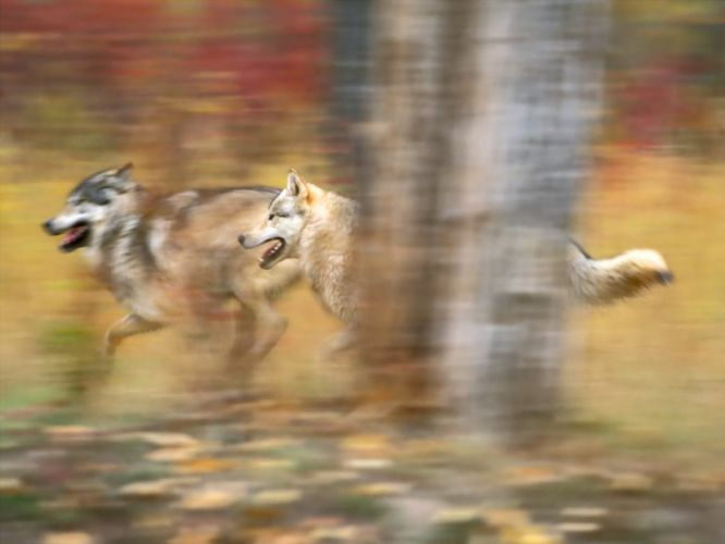 nature blurred wolves wallpaper