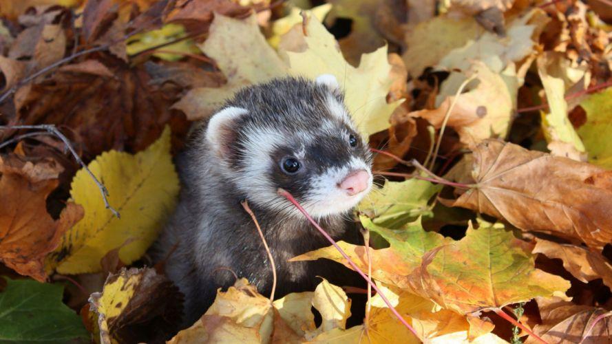 autumn animals leaves weasels fallen leaves wallpaper
