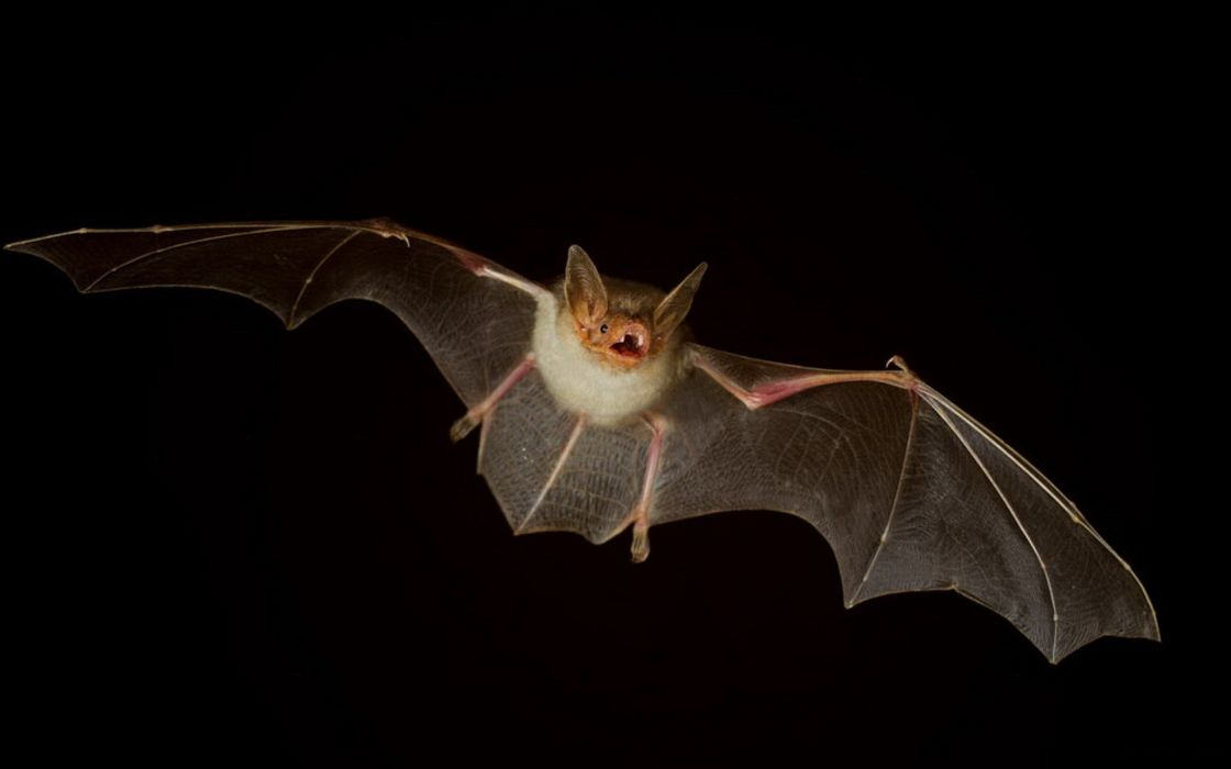 mammals bats black background wallpaper