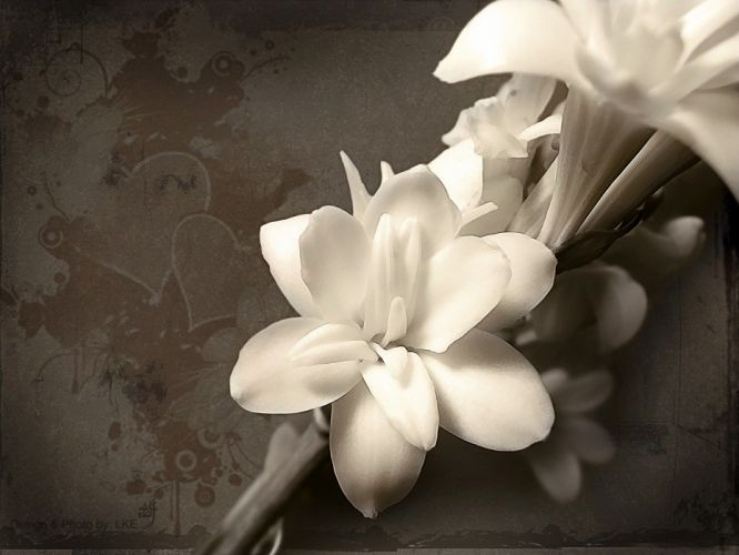white flowers orchids wallpaper