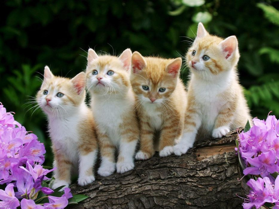 cats animals kittens pink flowers wallpaper