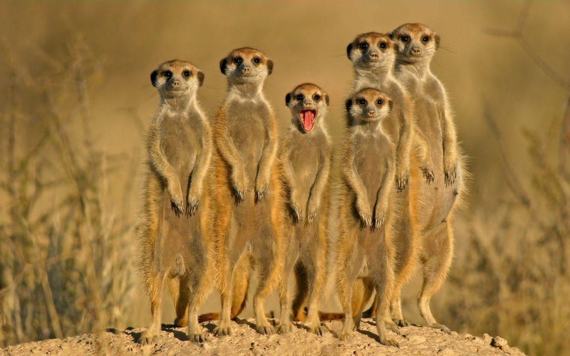 landscapes nature meerkats wallpaper