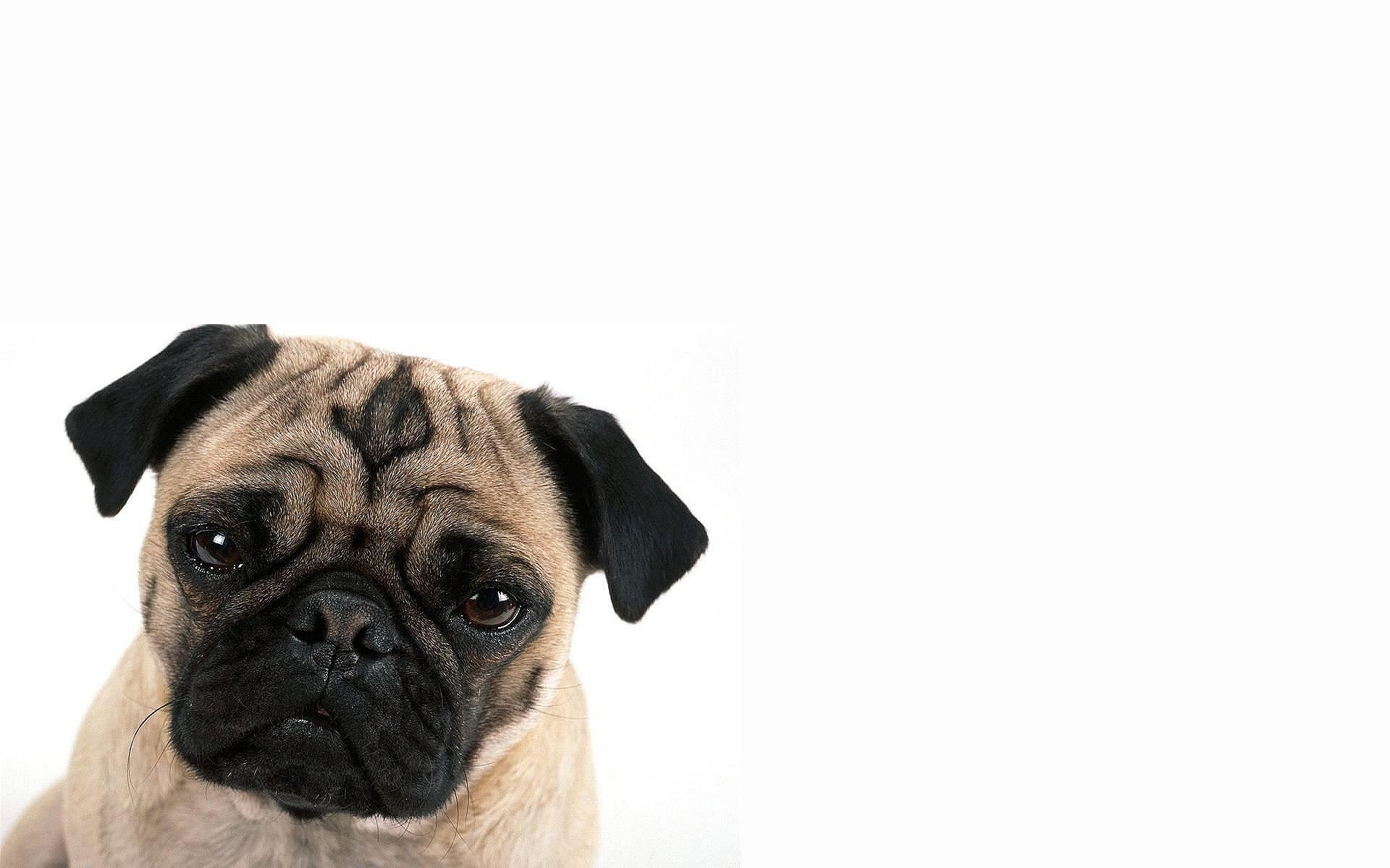 animals dogs pug wallpaper 1920x1200 262327 wallpaperup