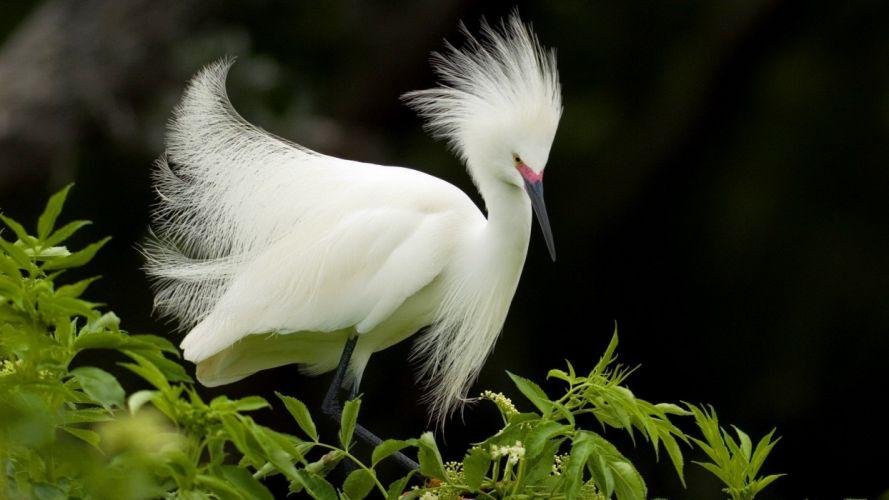 birds Florida snowy egret egrets wallpaper