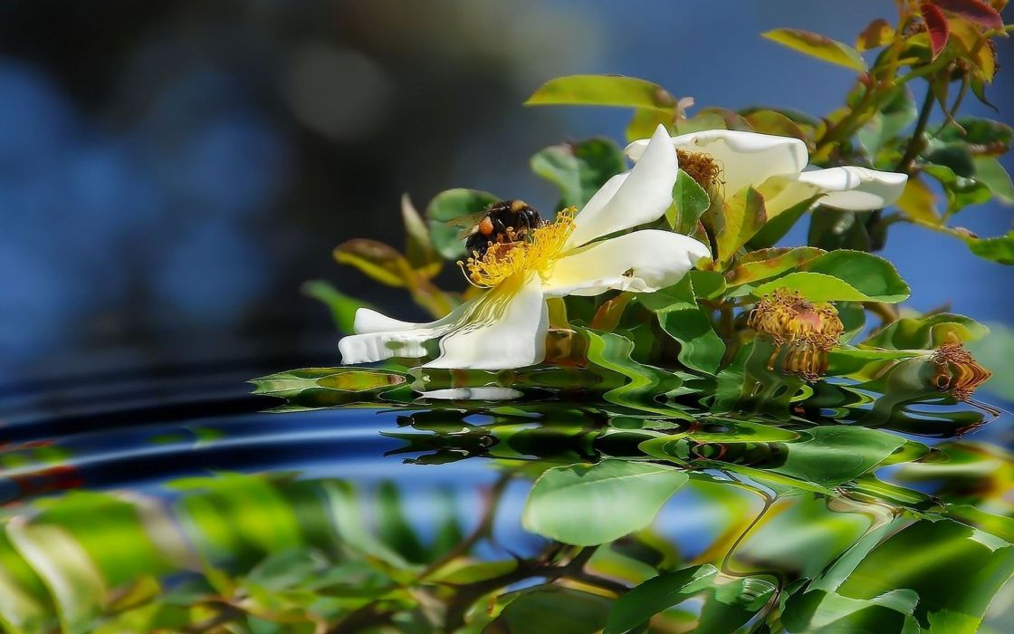 flowers leaves reflections white flowers wallpaper