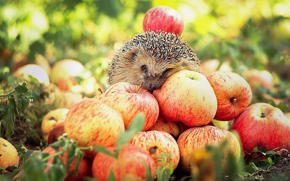 animals wildlife hedgehogs apples wallpaper