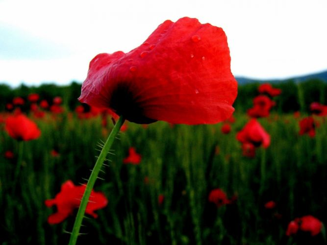 landscapes nature red flowers grass head shoulders rest poppies wallpaper