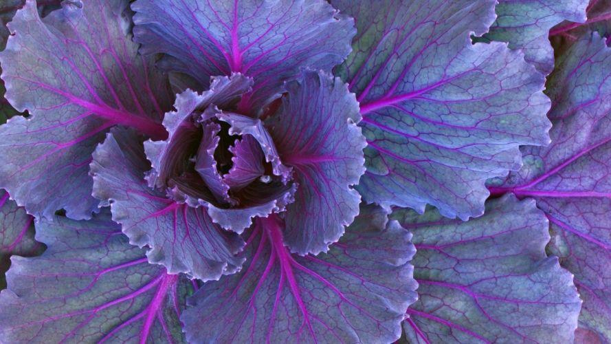 vegetables plants cabbages wallpaper