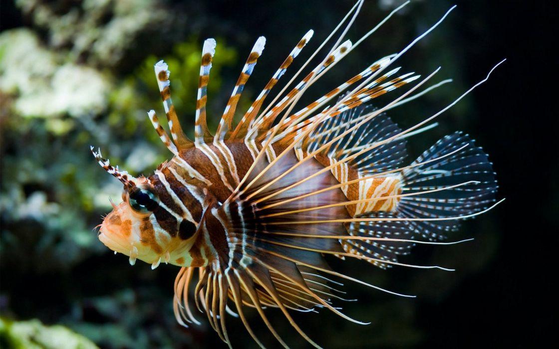 fish lionfish wallpaper