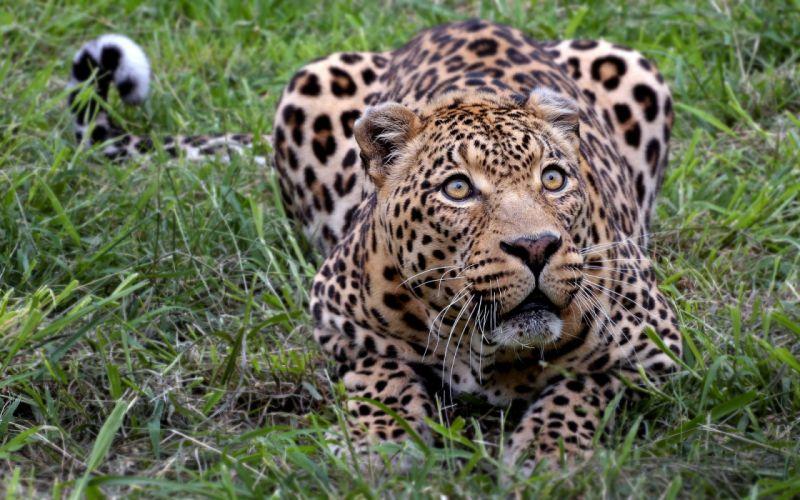 animals outdoors leopards wallpaper