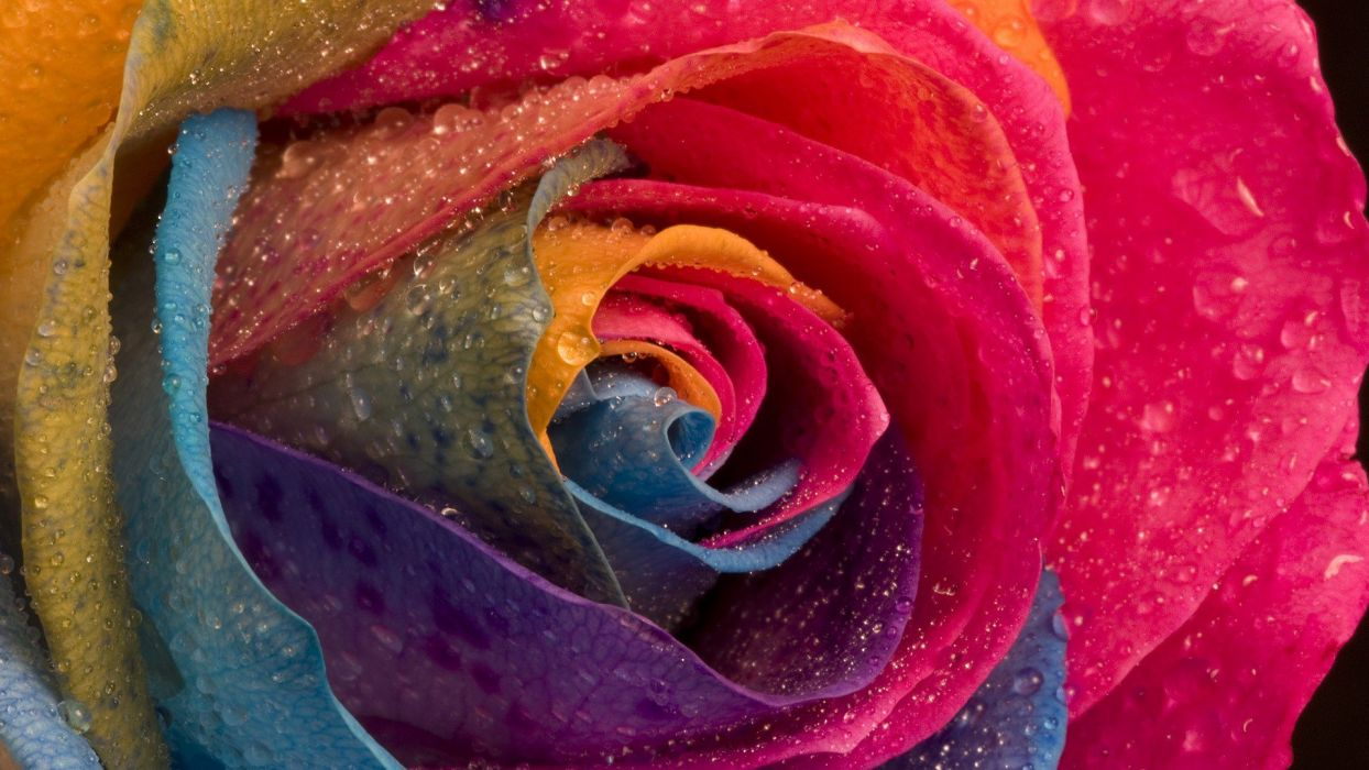 multicolor flowers water drops macro roses wallpaper