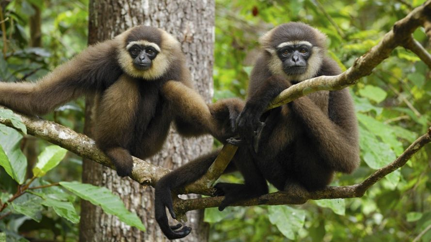 animals Indonesia National Park gibbons wallpaper