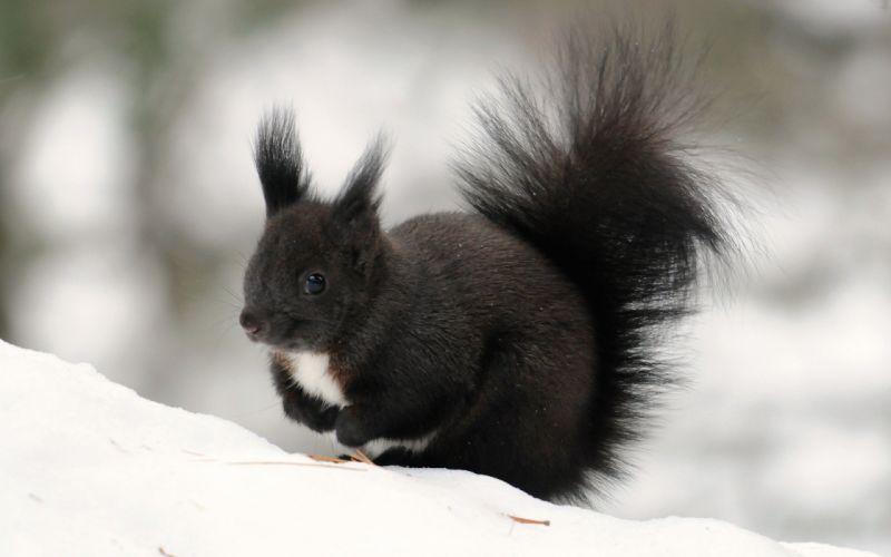 snow black animals outdoors fur squirrels wallpaper