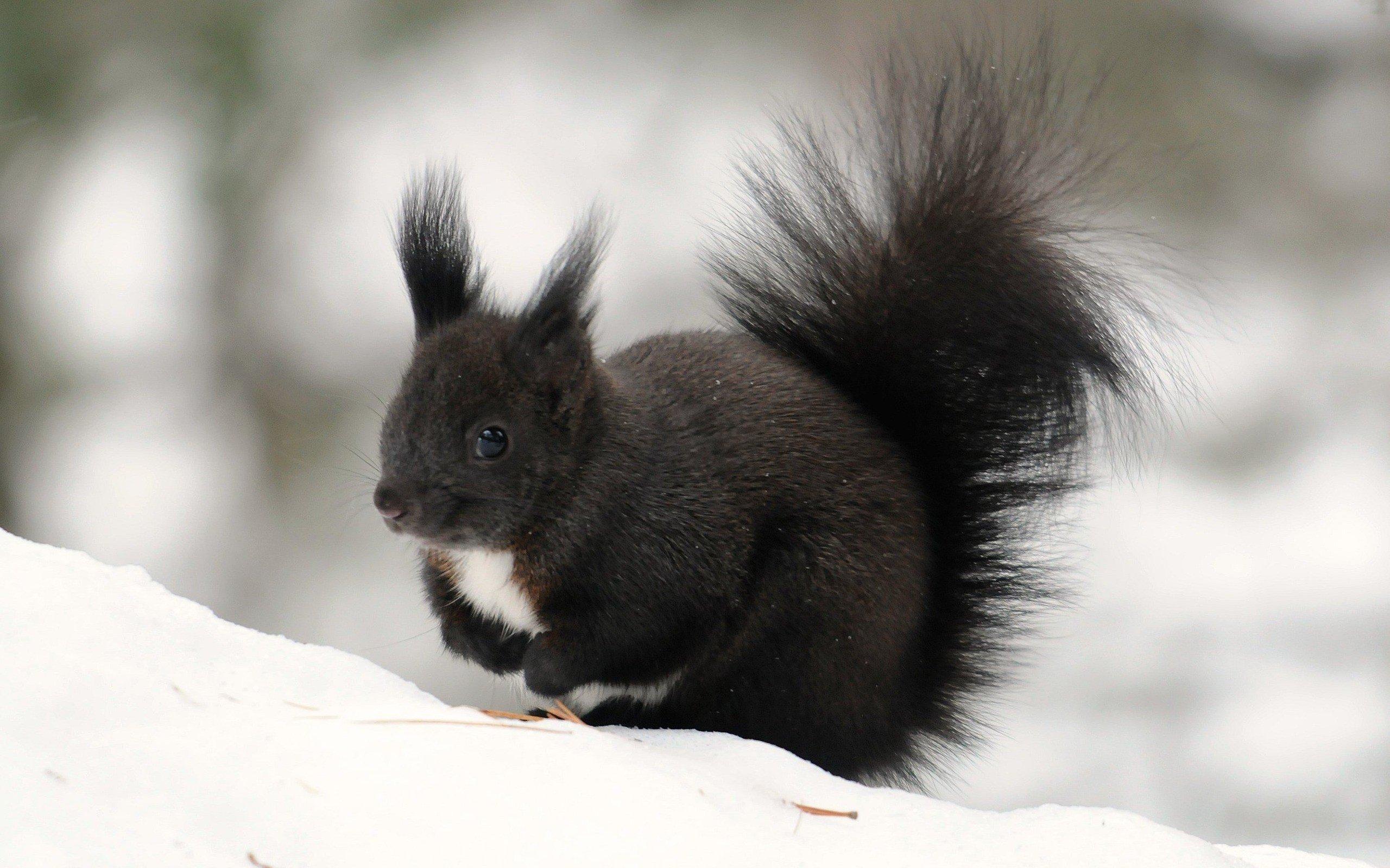snow black animals outdoors fur squirrels wallpaper. Black Bedroom Furniture Sets. Home Design Ideas