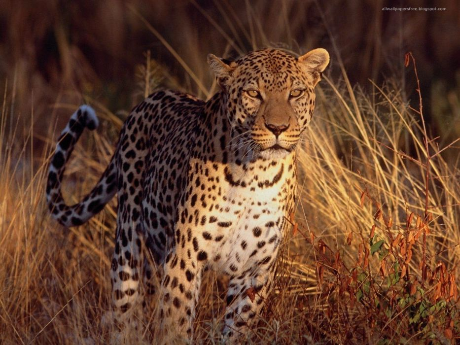 animals feline leopards wallpaper