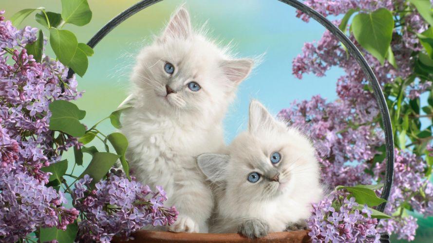 cats blue eyes blossoms wallpaper