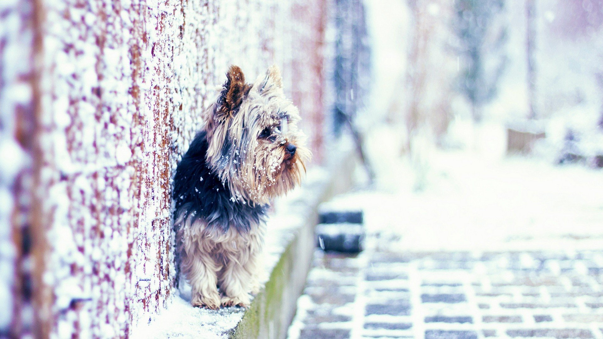 Nature Animals Dogs Puppies Yorkshire Terrier Yorkshire York