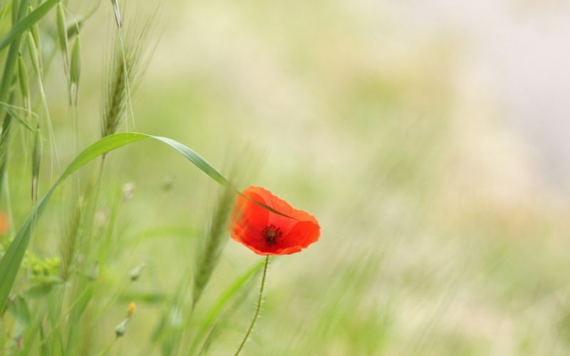 nature red flowers poppies wallpaper