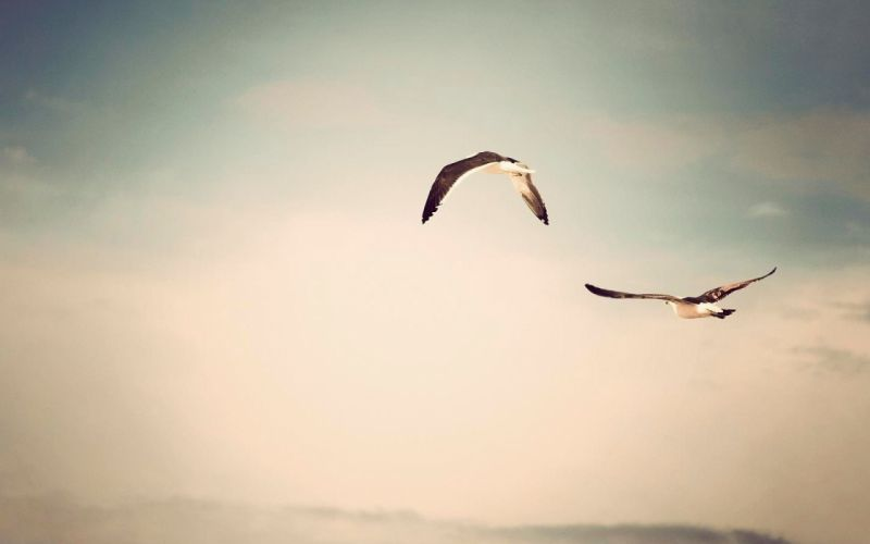 flying birds grayscale seagulls skyscapes wallpaper