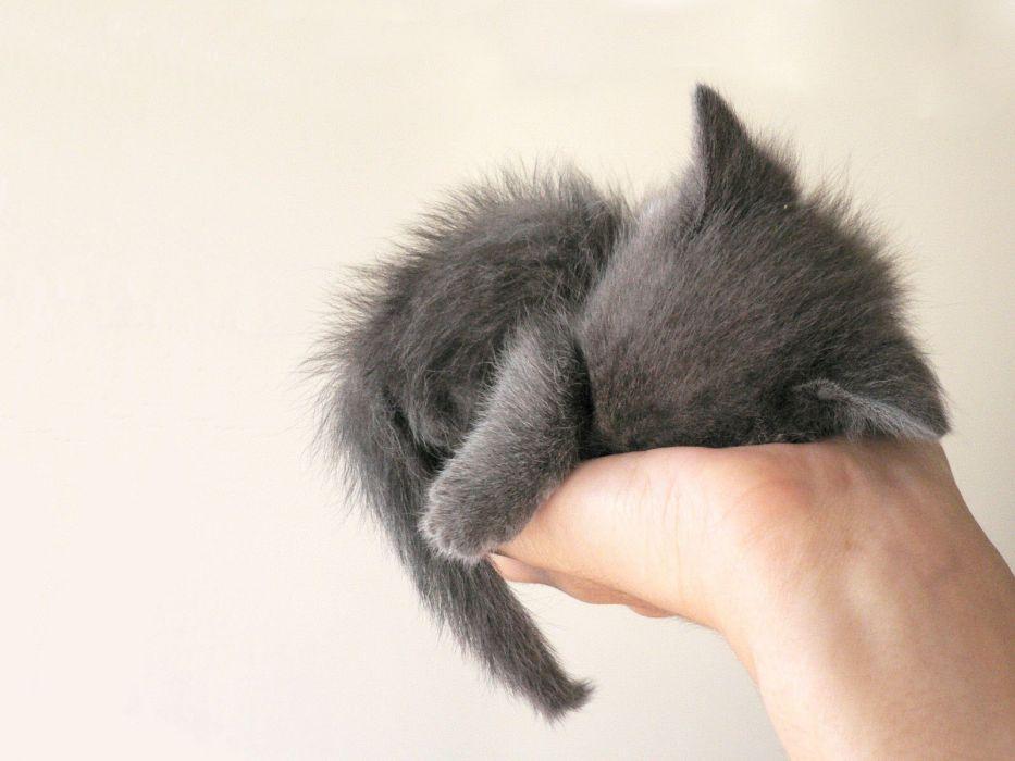 cats palm animals hands grey kittens wallpaper