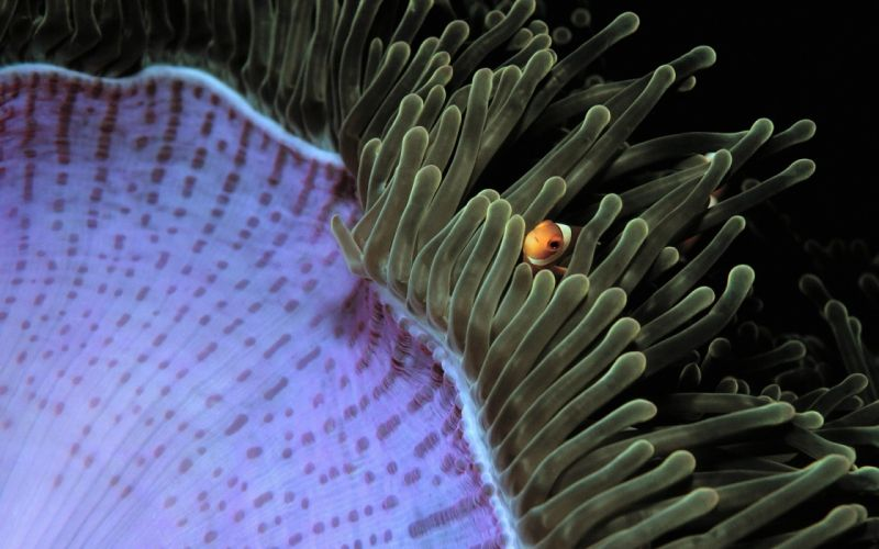 animals fish Malaysia clownfish sea anemones wallpaper