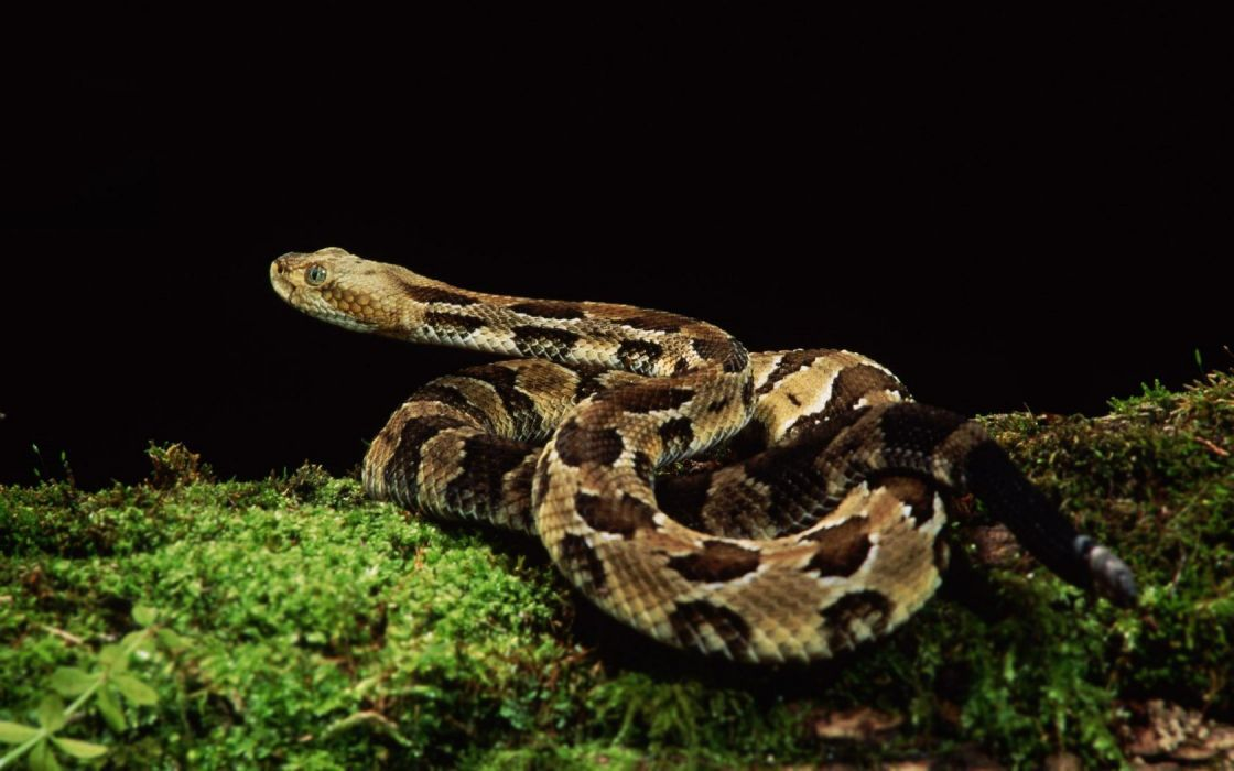 animals snakes reptiles wallpaper