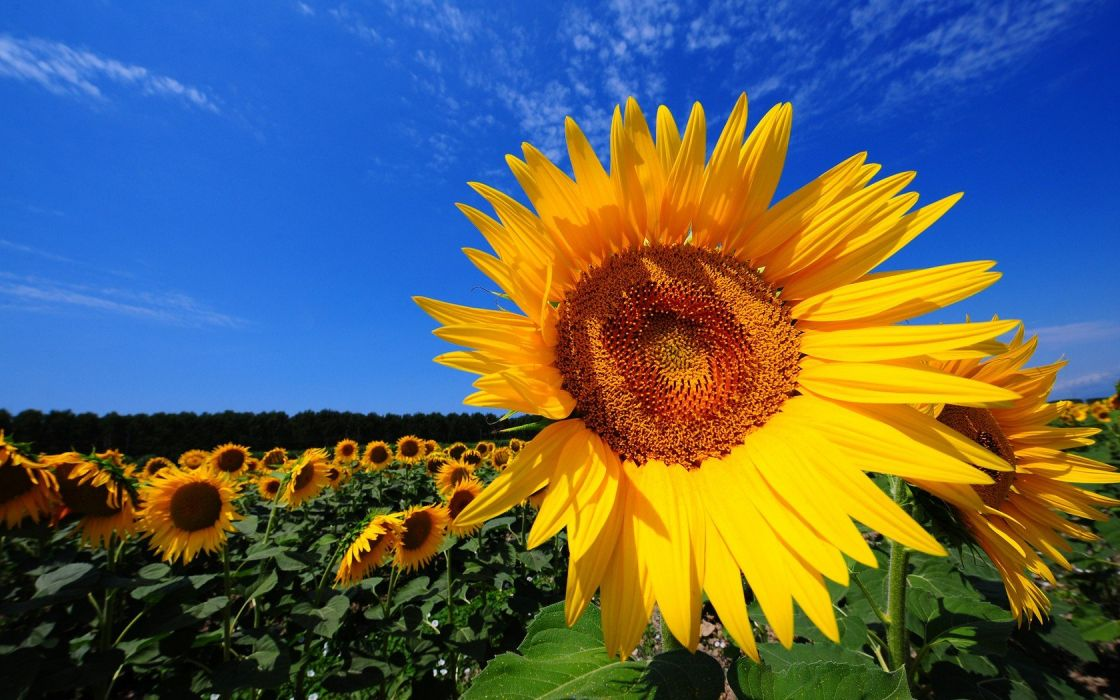 landscapes nature flowers sunflowers yellow flowers wallpaper