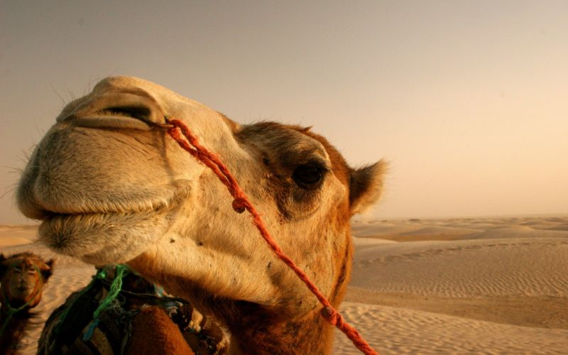 close-up nature animals deserts Egypt camels wallpaper