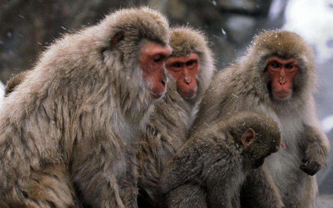 snow animals monkeys Japanese Macaque wallpaper