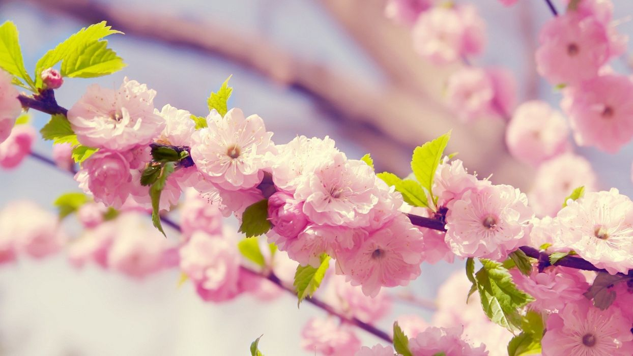 nature flowers blossoms plants flower petals pink flowers wallpaper