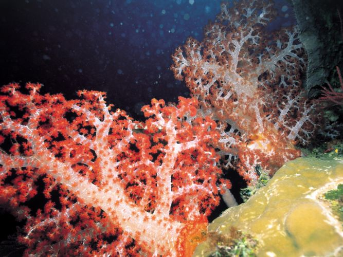corals wallpaper