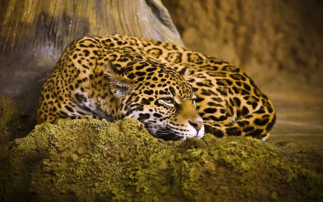 animals jaguars wallpaper