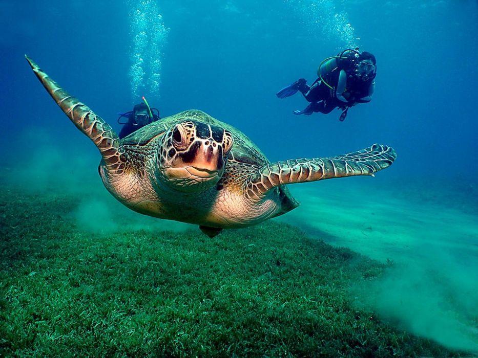 ocean animals diver turtles wallpaper
