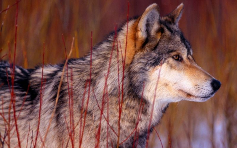 nature wall animals Wolf Guy wolves wallpaper