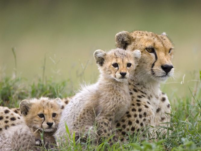 animals cheetahs cubs baby animals wallpaper