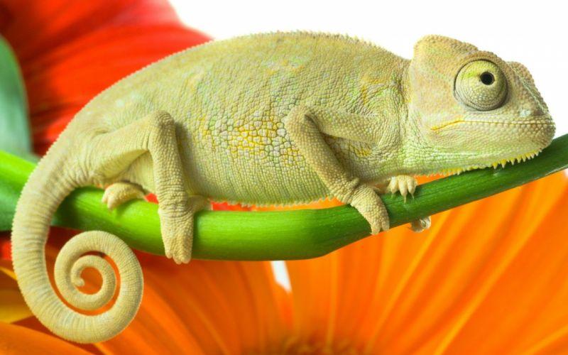 animals chameleons wallpaper