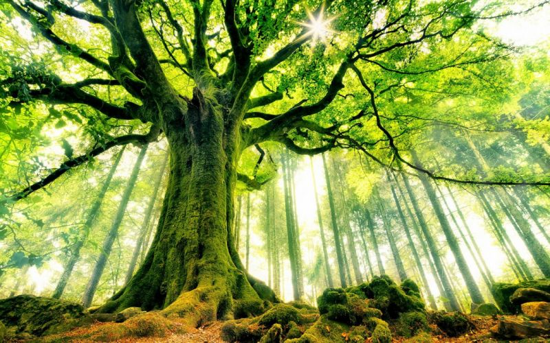 trees forests sunlight moss wallpaper