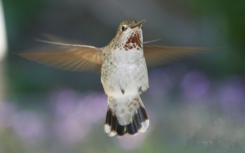 birds animals hummingbirds wallpaper