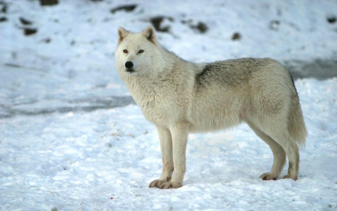 snow wolves wallpaper