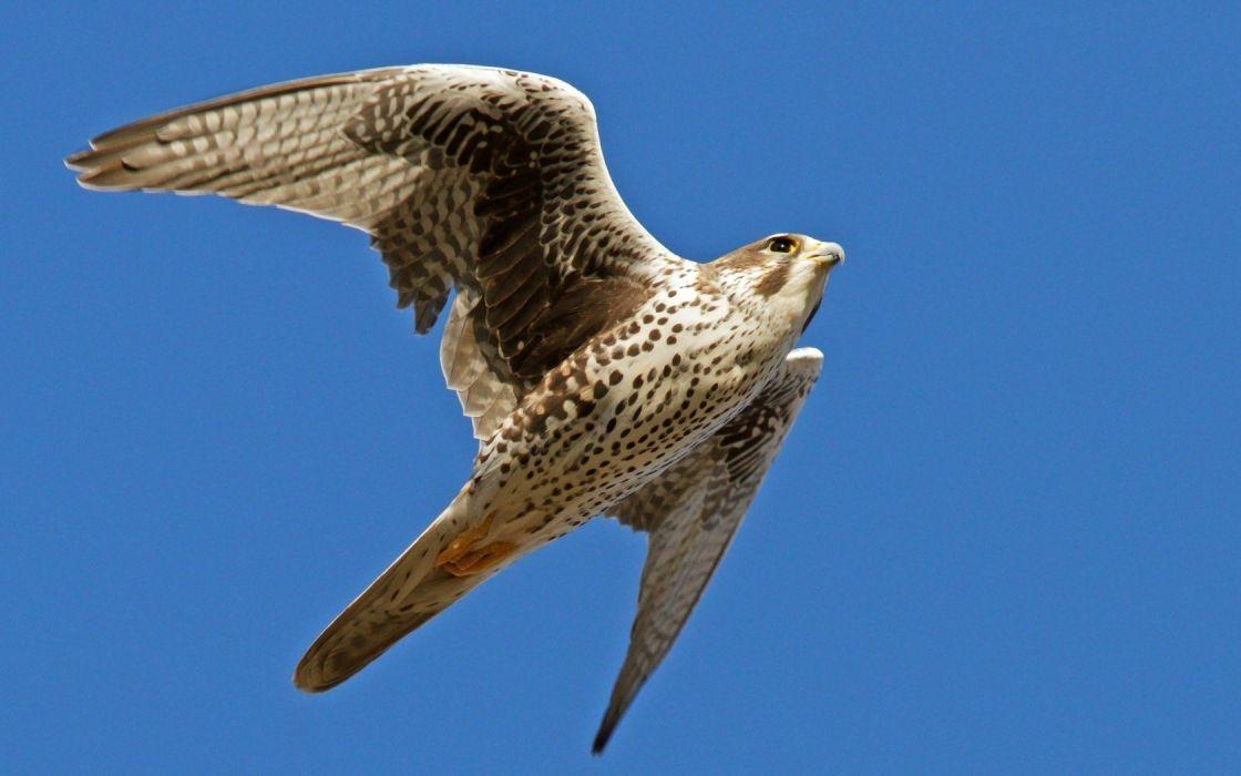 animals falcon bird wallpaper