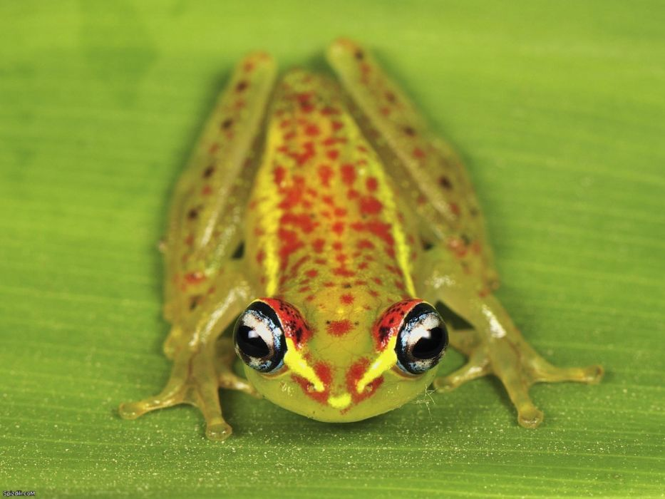 green frogs macro dart frogs amphibians wallpaper