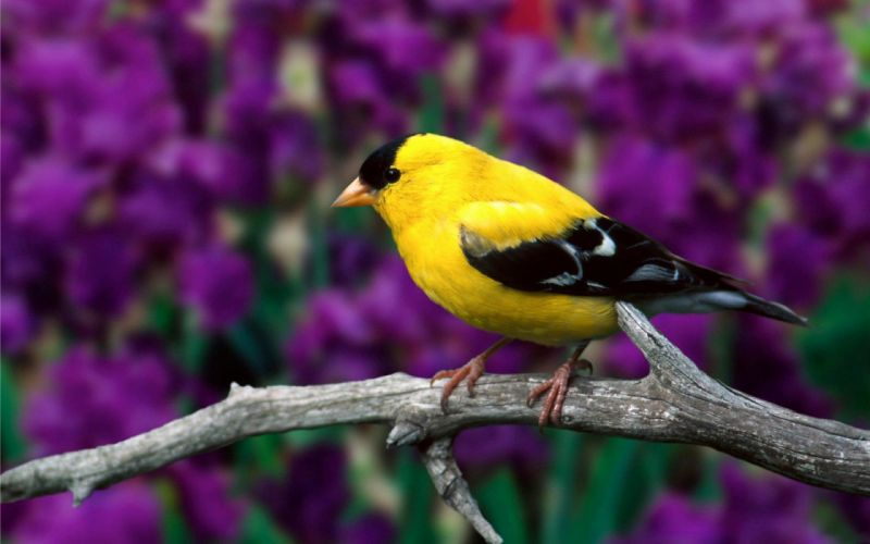 nature yellow birds depth of field branches Goldfinch wallpaper