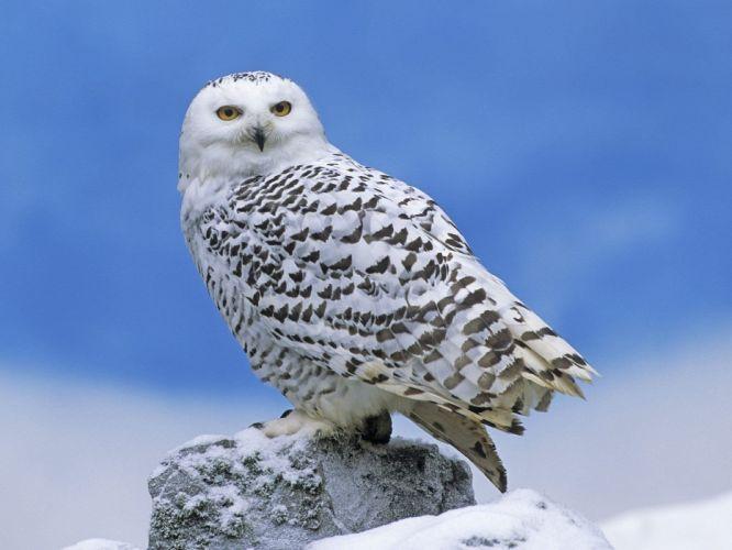 snow birds owls wallpaper
